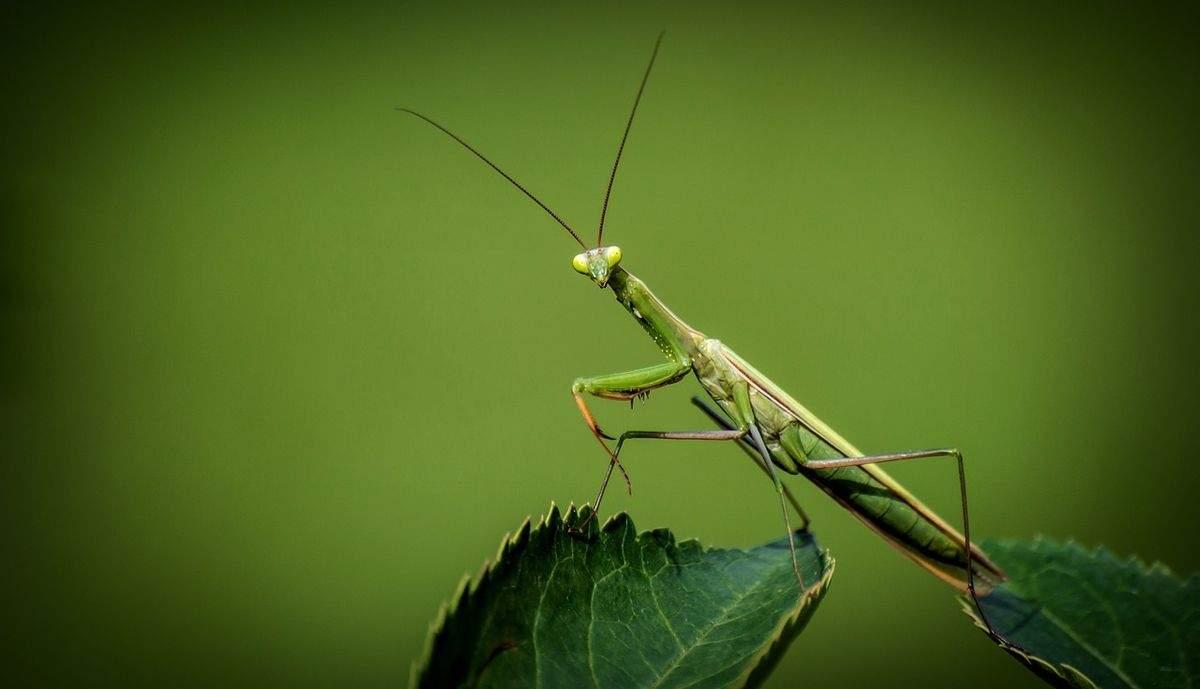 Mantis en el control de cultivos