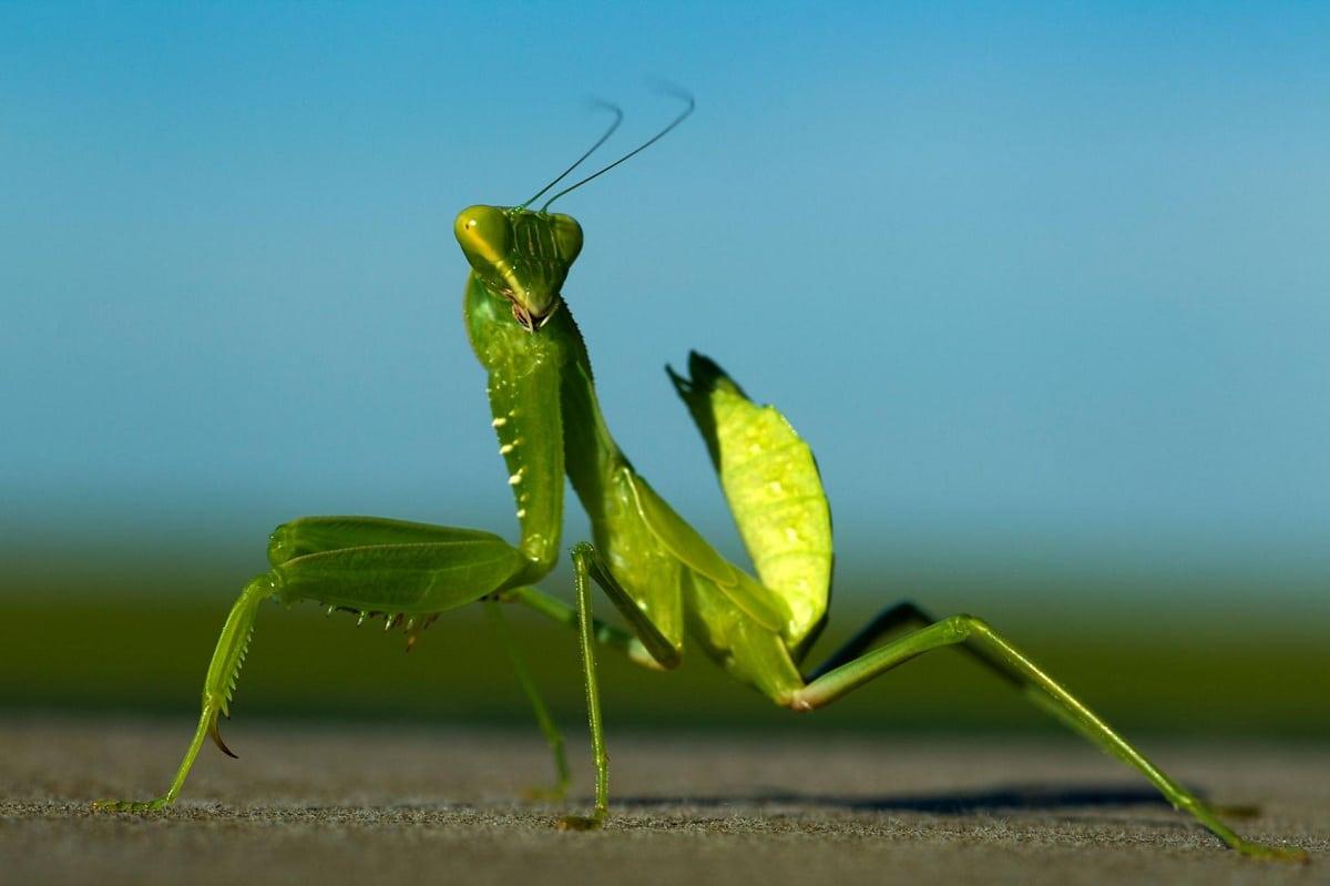 Mantis religiosa cazadora