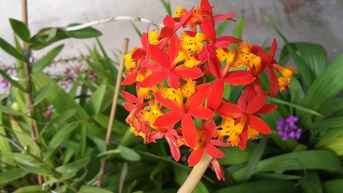 Orquídea Epidendrum de un color rojo muy vivo