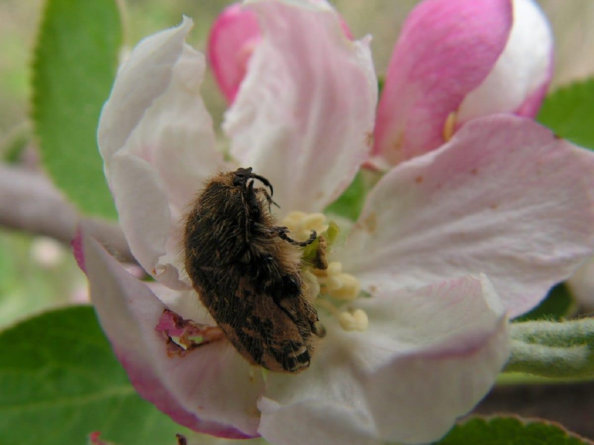 Oxythyrea funesta alimentandose en una flor de un rosal