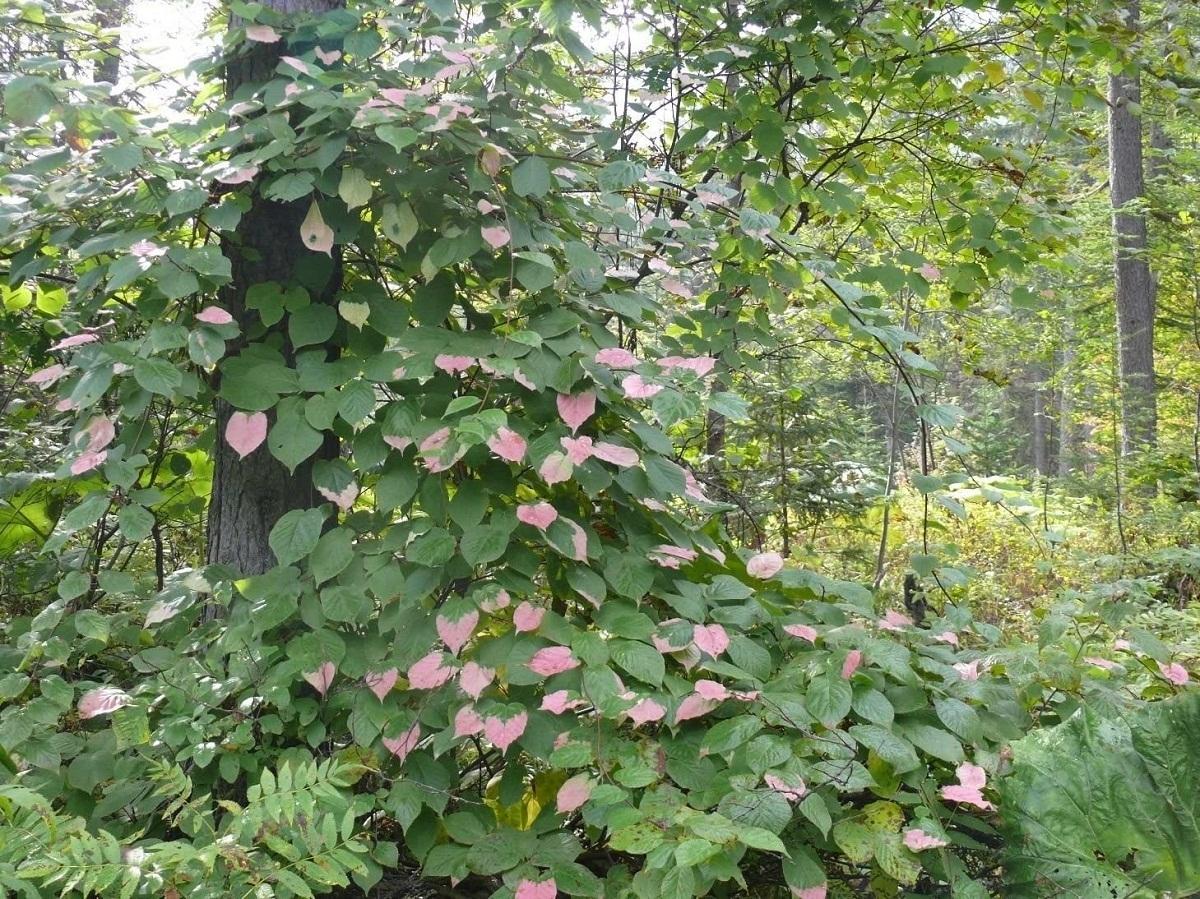 actinidia kolomikta que crece de forma natural en un bosque
