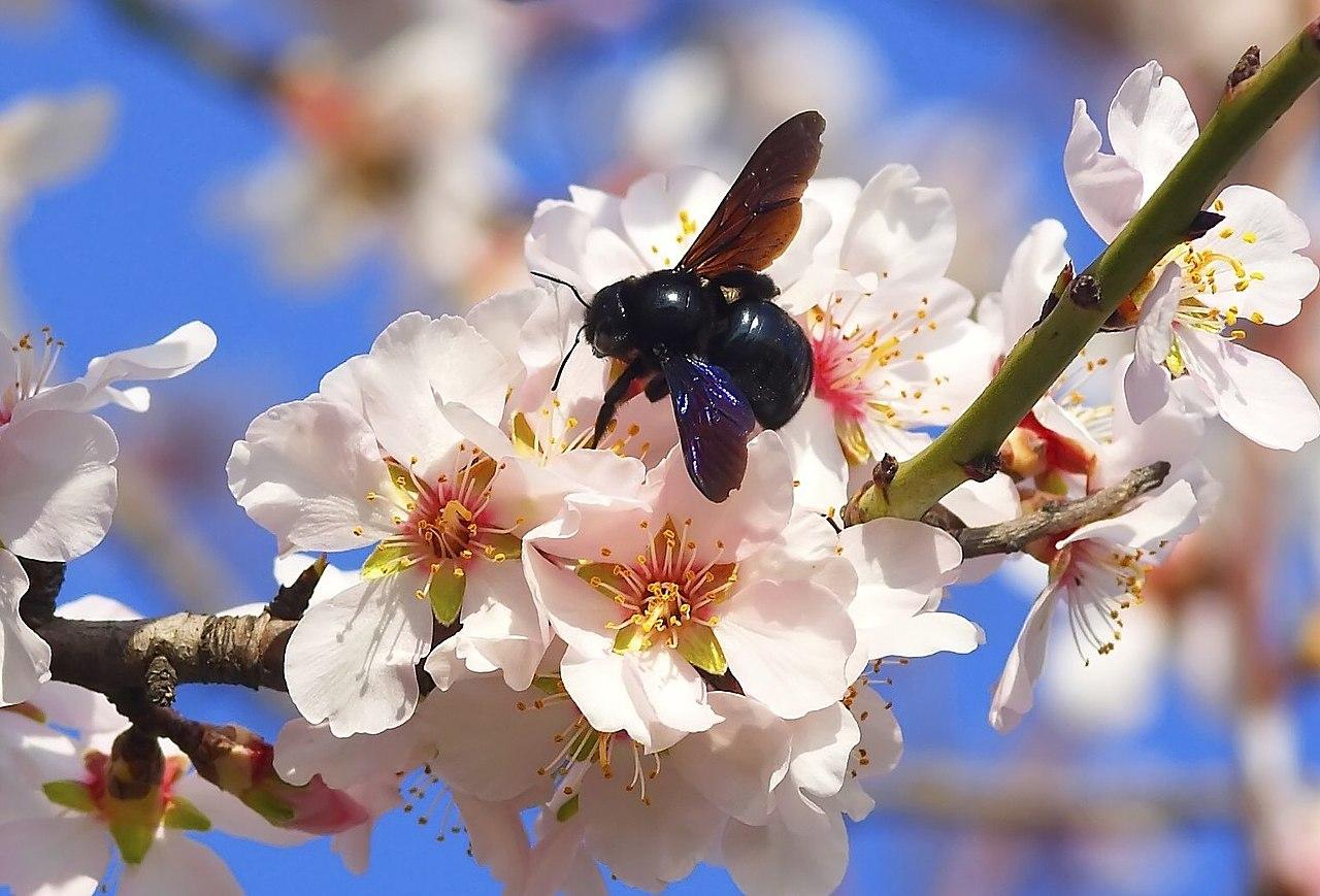 El almendro es un frutal que se cultiva en el mediterráneo