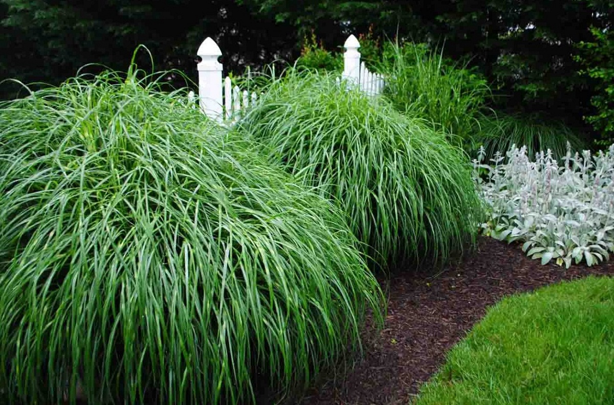 arbusto decorativo llamado Miscanthus sinensis