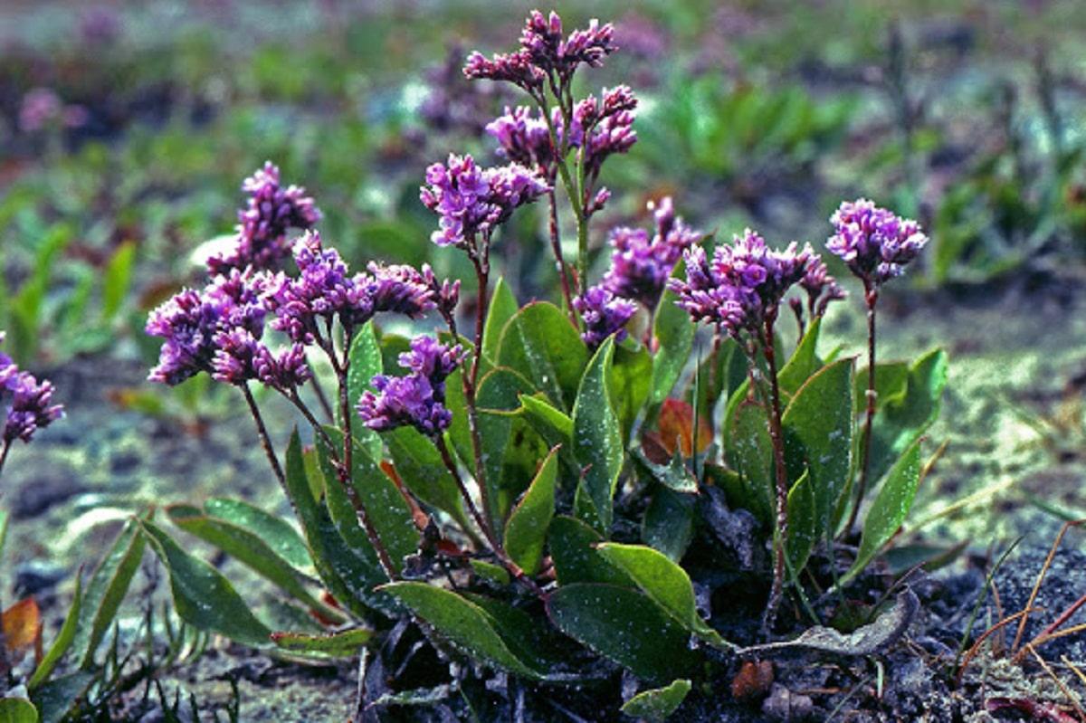 arbusto pequeno cuyas flores son moradas