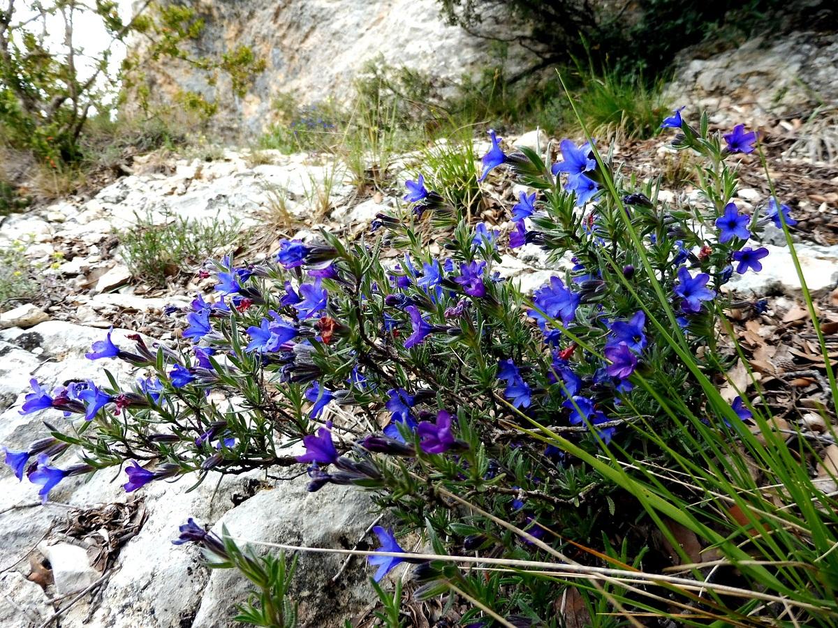 arbusto que sobre sale de unas piedras y de color violeta