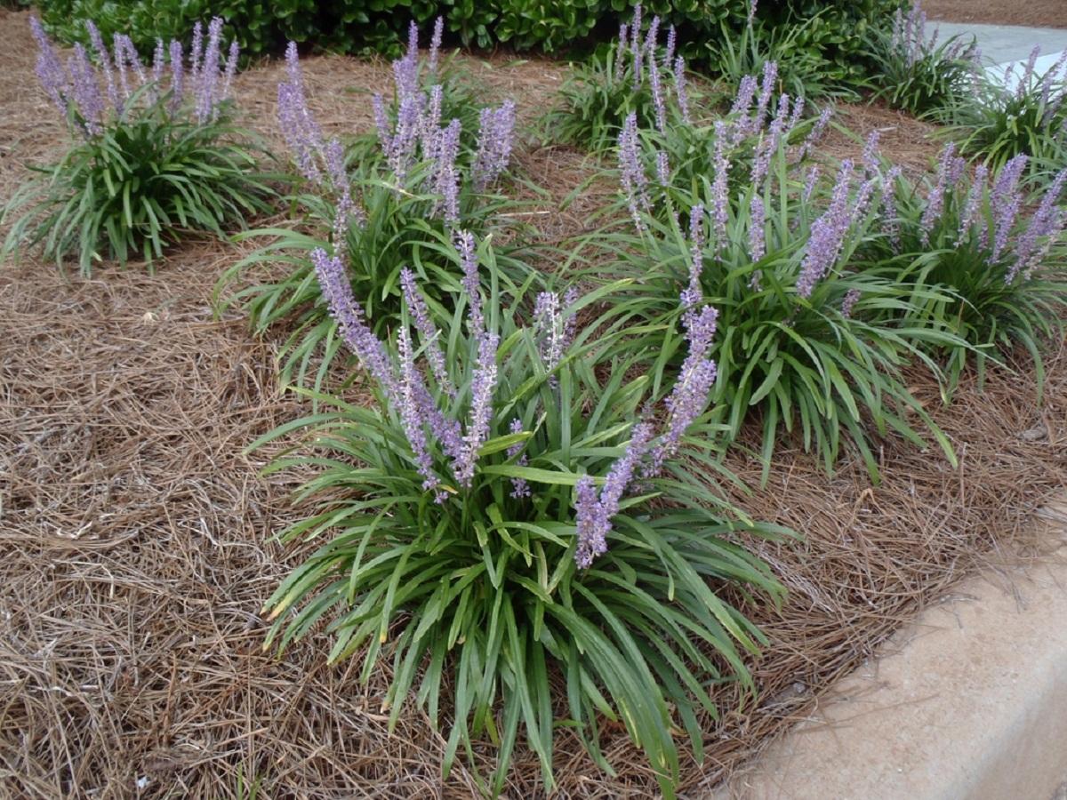 arbustos de flores moradas llamadas Liriope muscari