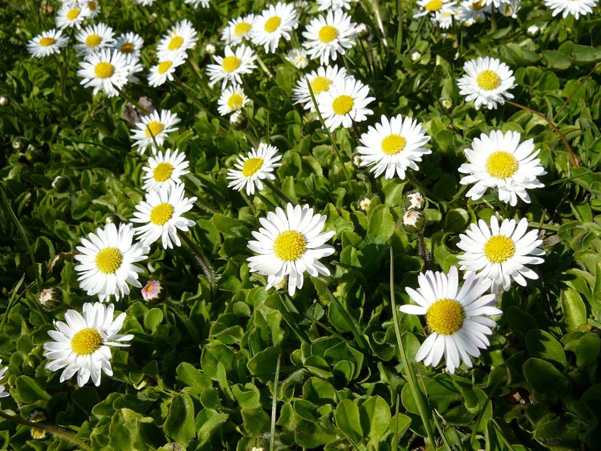 El Bellis perennis es una hierba perenne que produce flores blancas