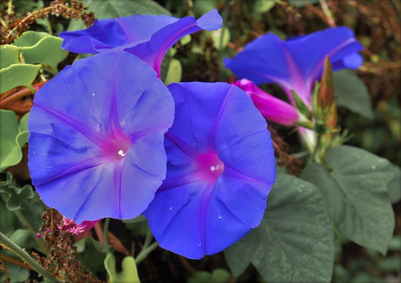 La campanilla azul es una flor americana muy popular en Japón