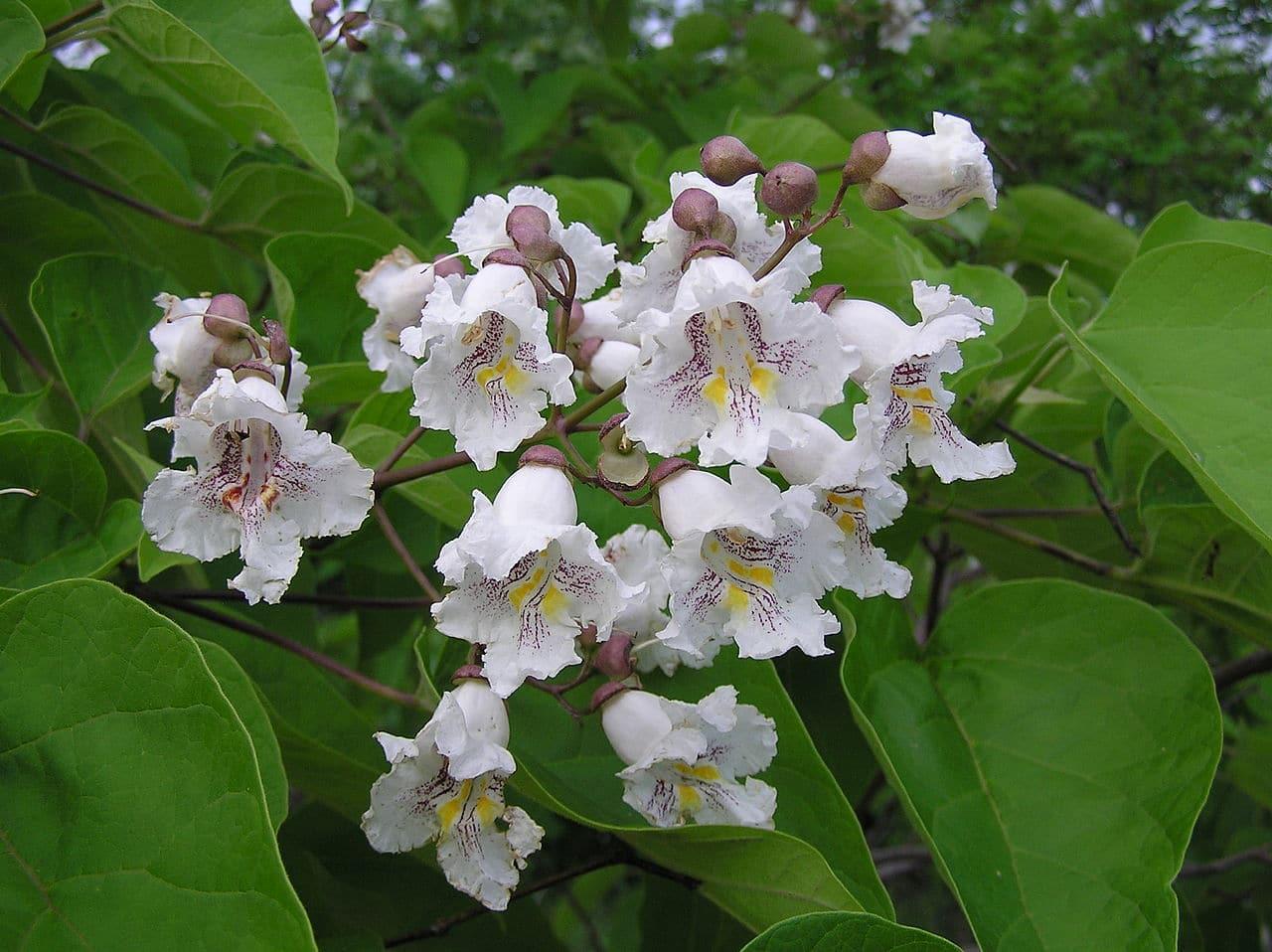 La catalpa es un árbol que produce flores blancas