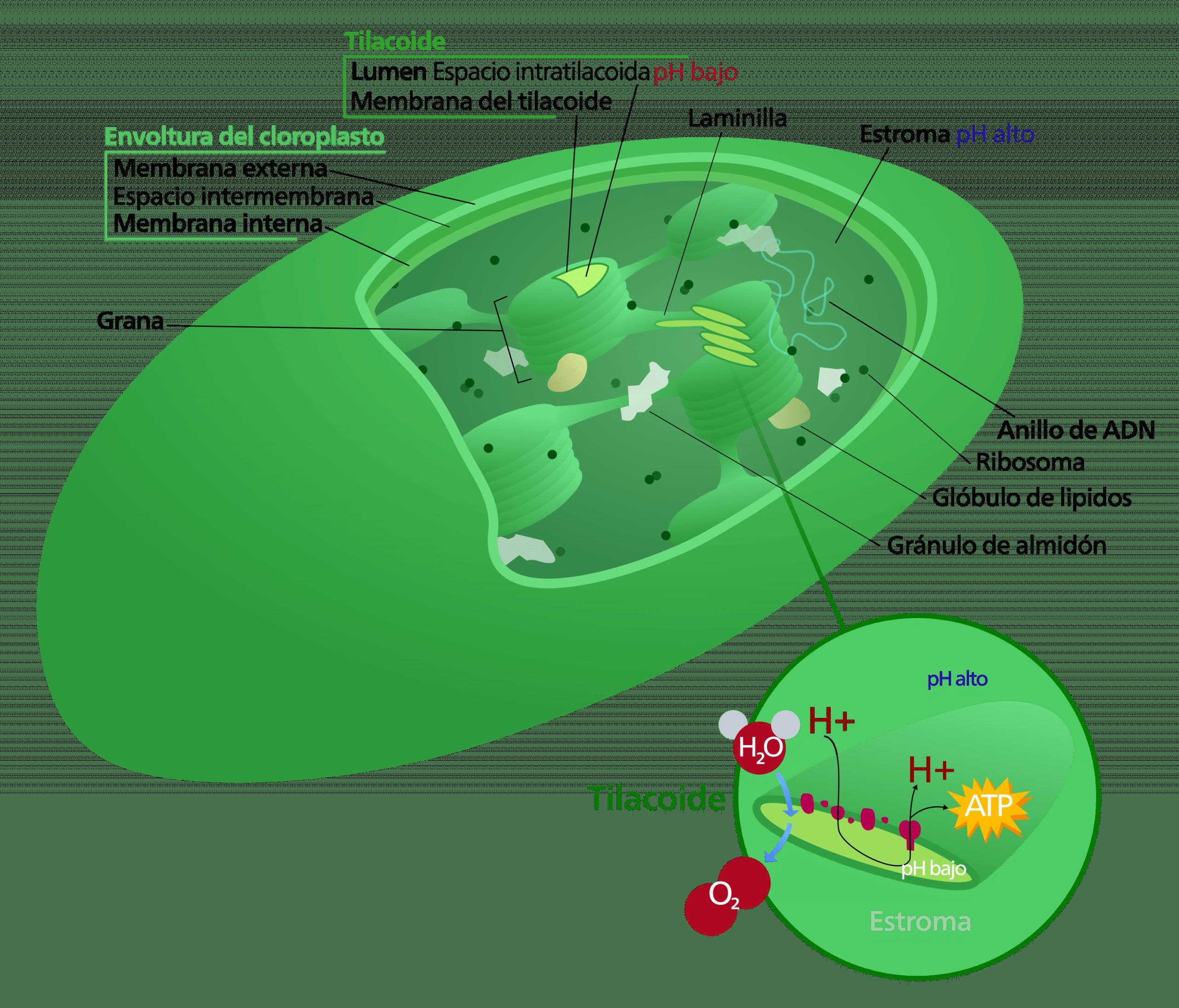 Los cloroplastos son las estructuras donde se lleva a cabo la fase oscura de la fotosíntesis