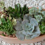 Las crasas son plantas ideales para composiciones