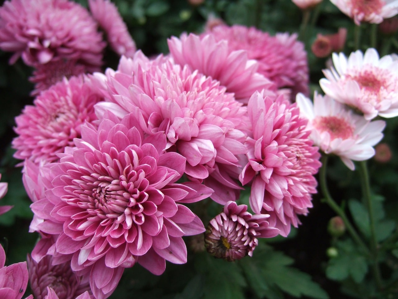 El cirsantemo es una herbácea de flores preciosas