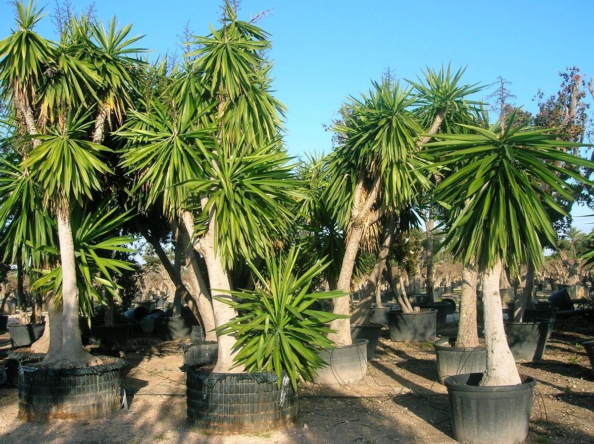 cultivo de yuca pata de elefante