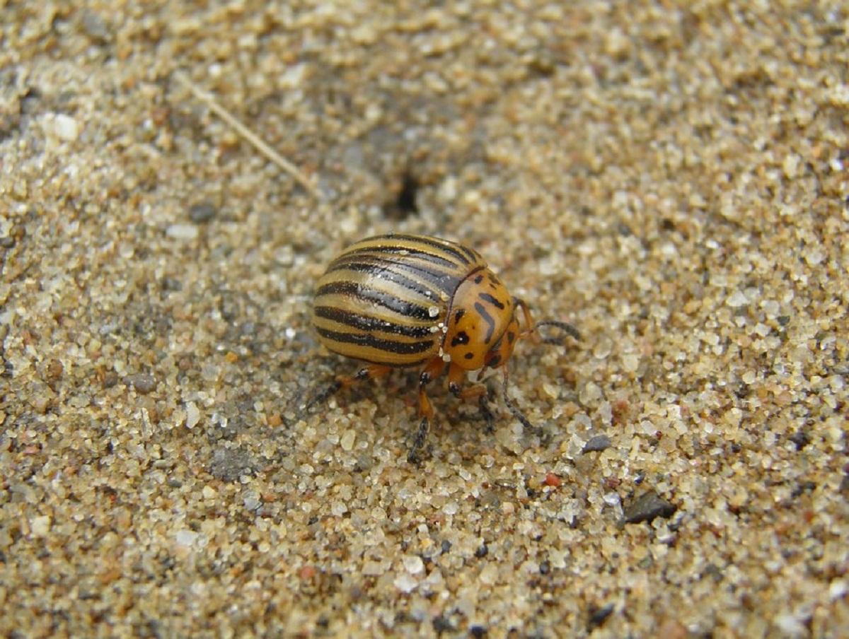 escarabajo de la patata andando por el suelo tranquilamente