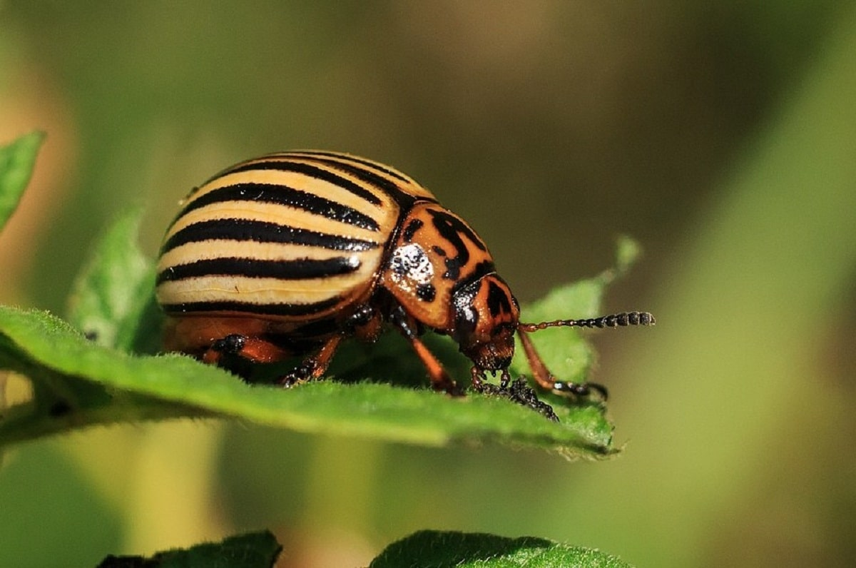escarabajo de la patata encima de una hoja
