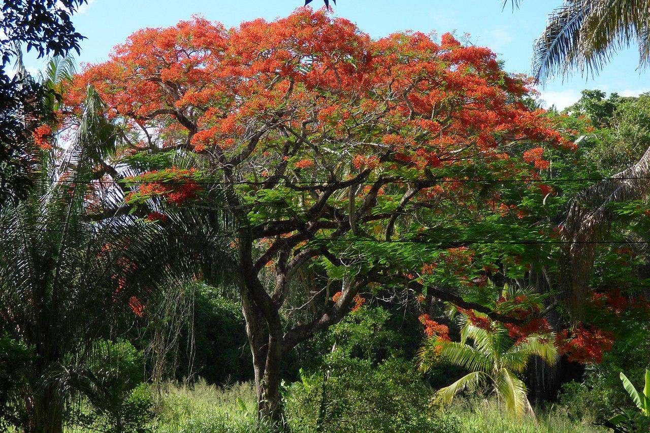 El flamboyan es un árbol en peligro de extinción debido a la pérdida de hábitat
