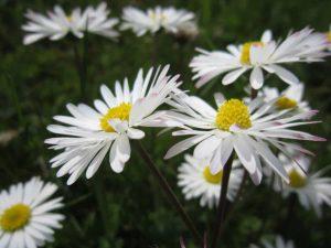 Son muchas las plantas que producen flores blancas