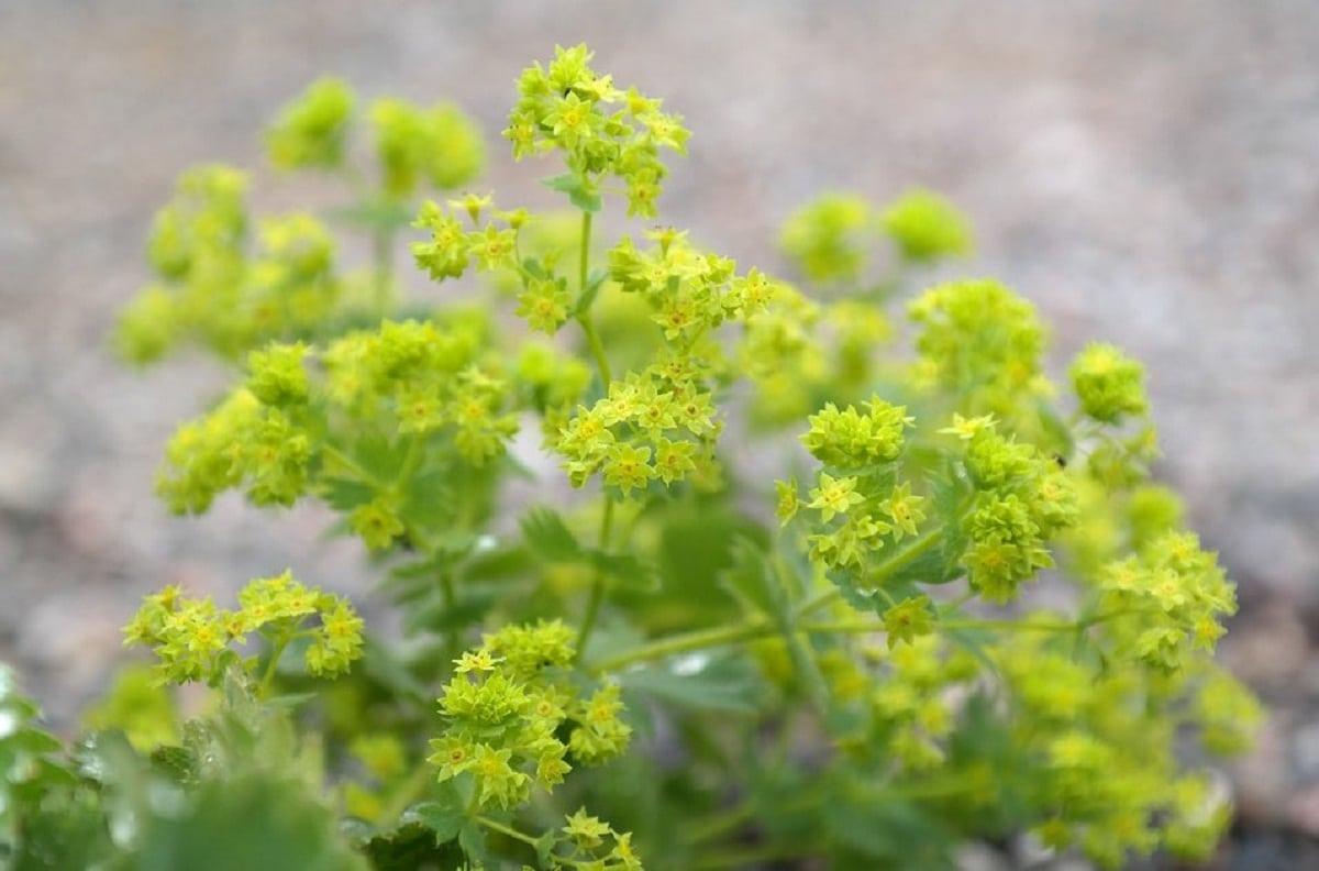 flores de la planta llamada pie de leon o Alchemilla