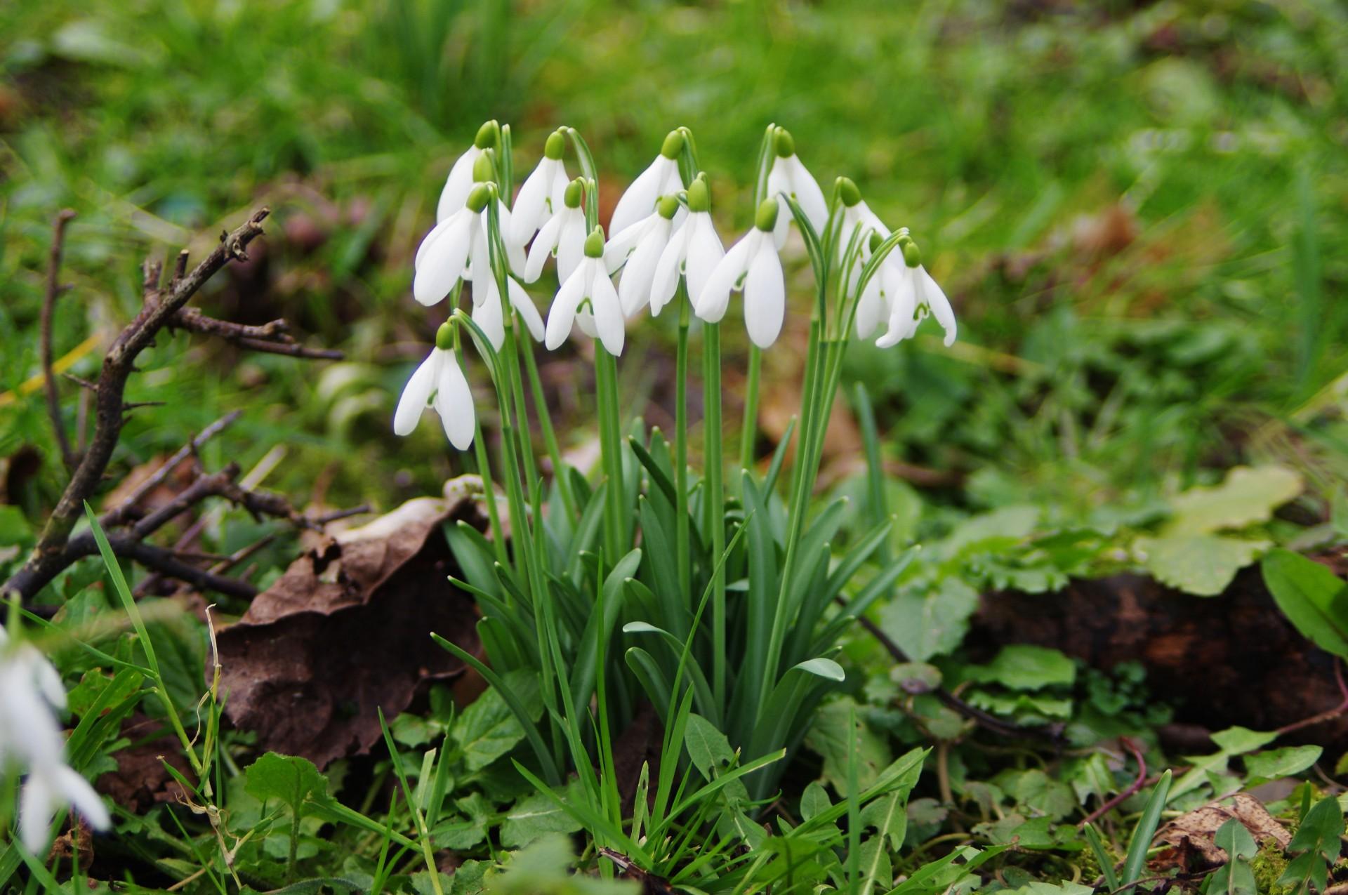 La campanilla de invierno es una bulboa de flor blanca