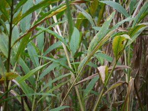 Las hojas del cardamomo son verdes