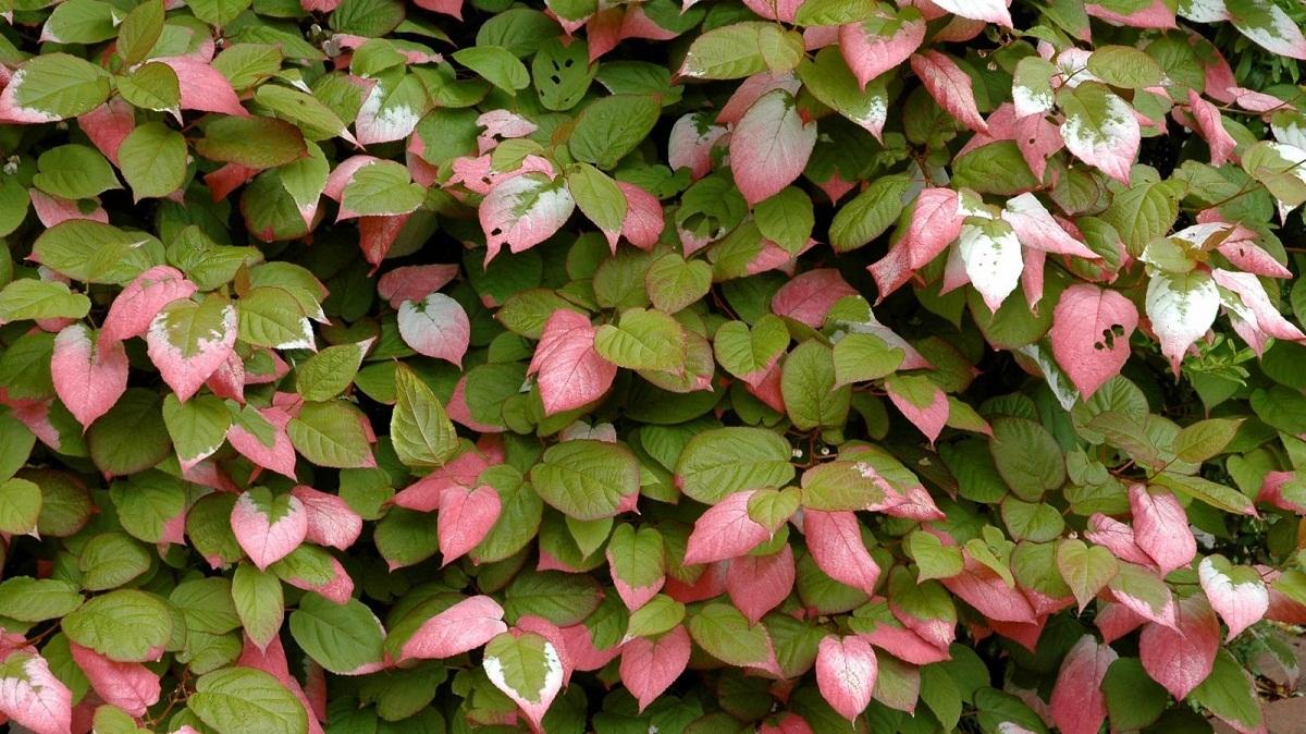 hojas con dos colores diferentes, entre rosa y verde