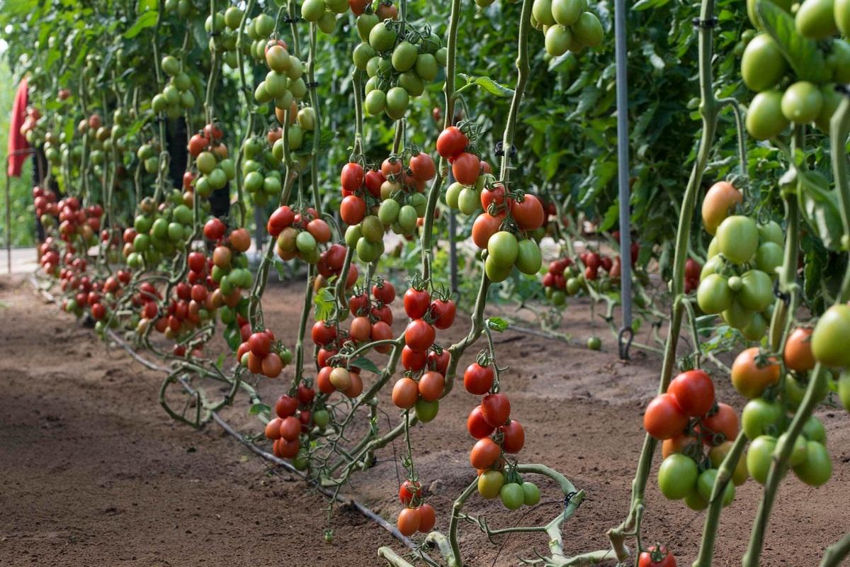 huerto lleno de pequenos tomates pera