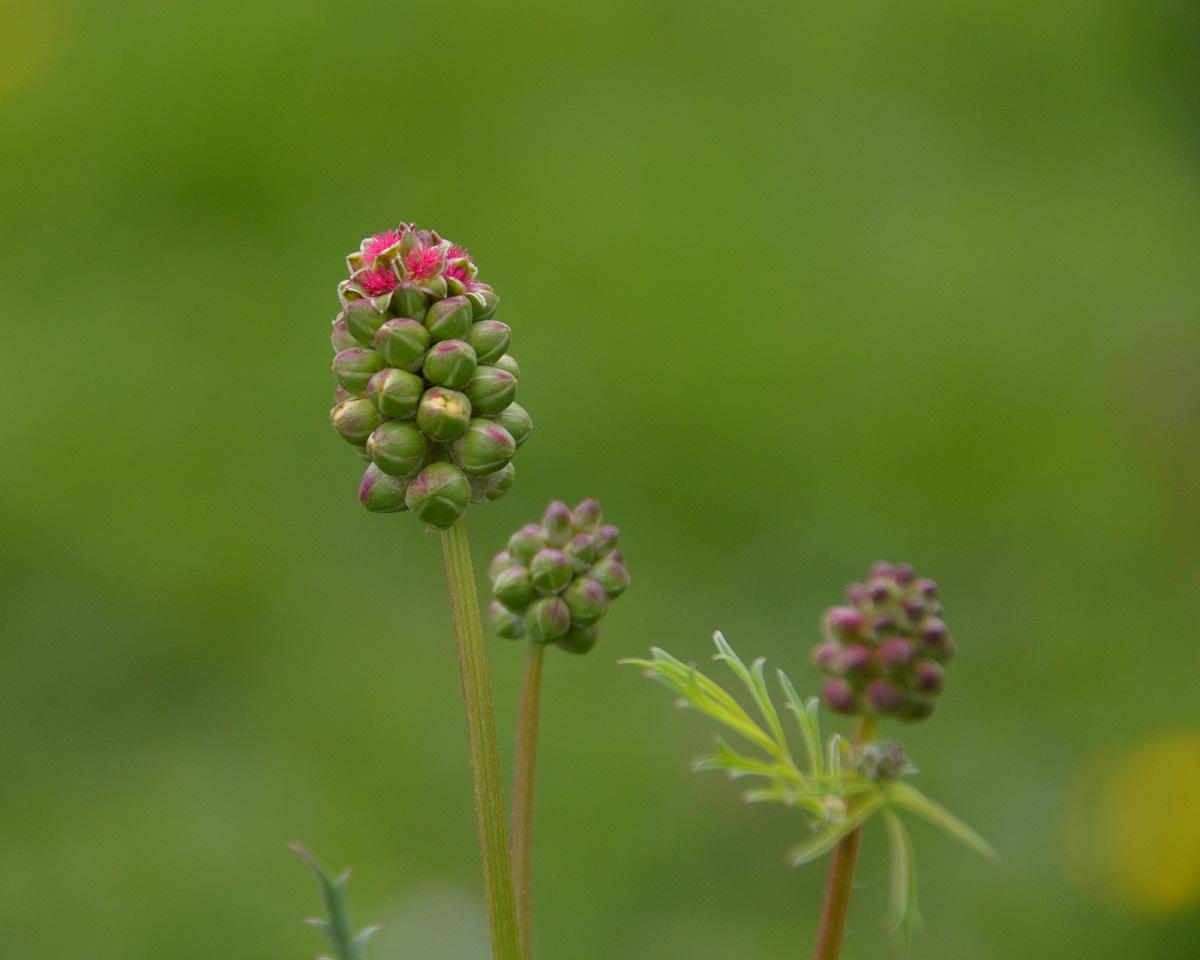 imagen con tres flores de la planta medicinal Sangisorba minor