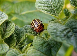 imagen de escarabajo de la patata ampliada