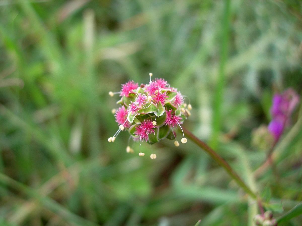 imagen de una flor vista de cerca llamada Sangisorba minor