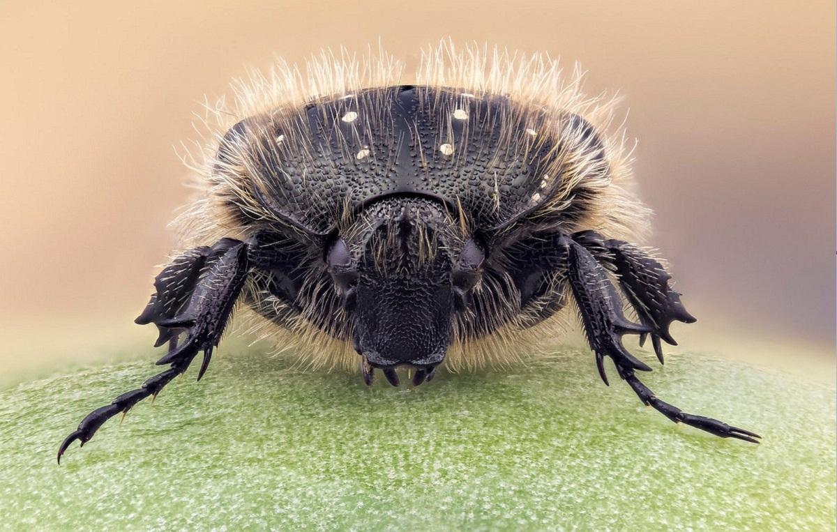 imagen donde se ven los pelos de un escarabajo llamado Oxythyrea funesta