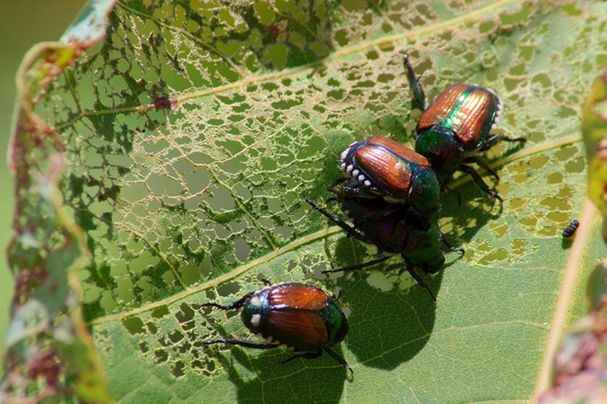 insectos que se están comiendo las hojas