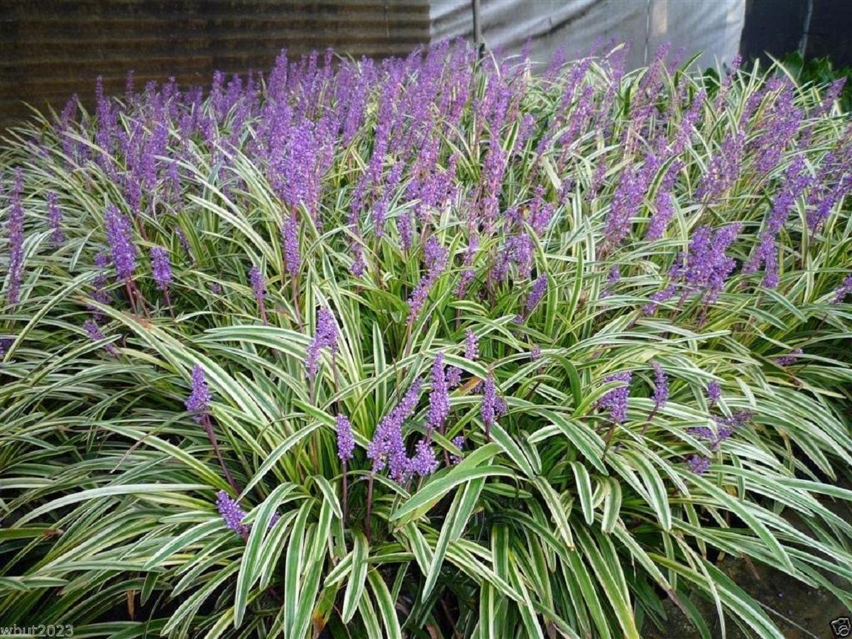 jardin lleno de plantas y flores cuyo nombre es Liriope muscari