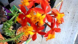 maceta con una orquidea de flores rojas plantada