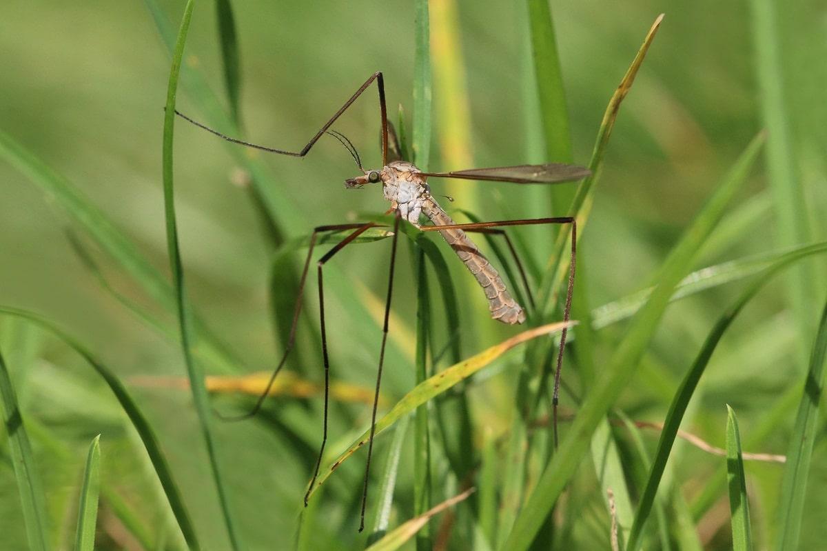 mosquito llamado tipula