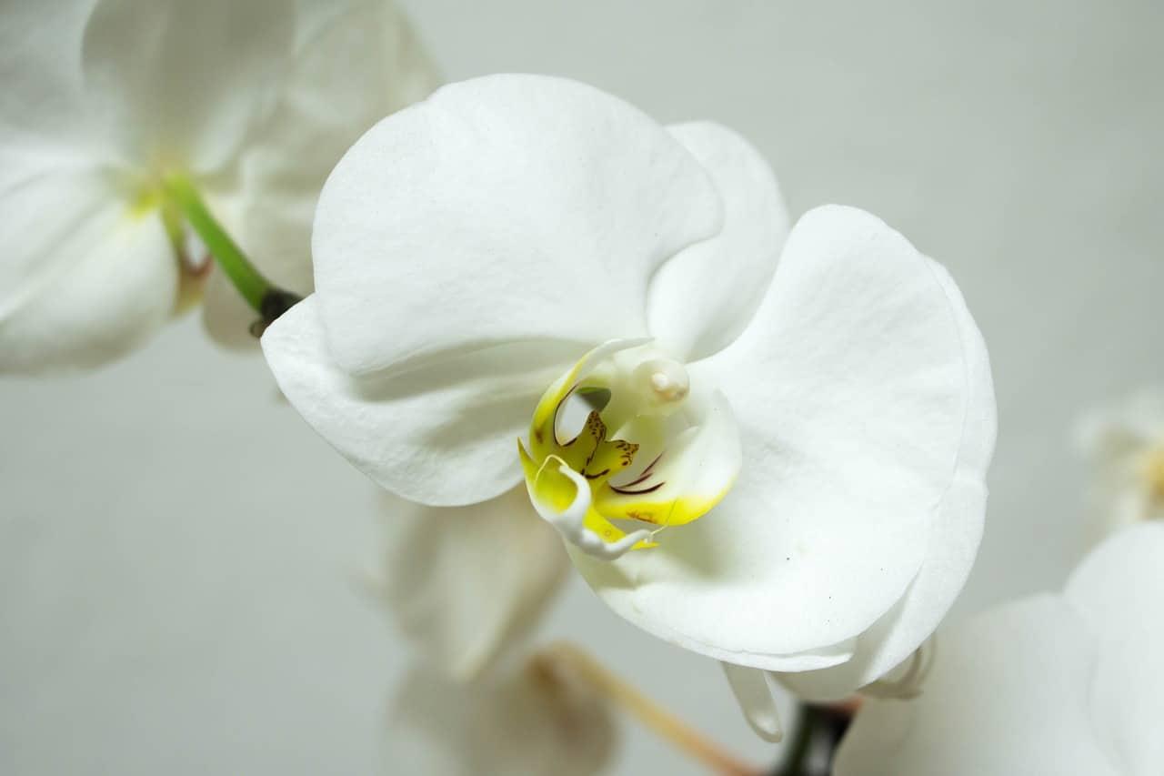 La Phalaenopsis es una orquídea epífita que produce flores de varios colores