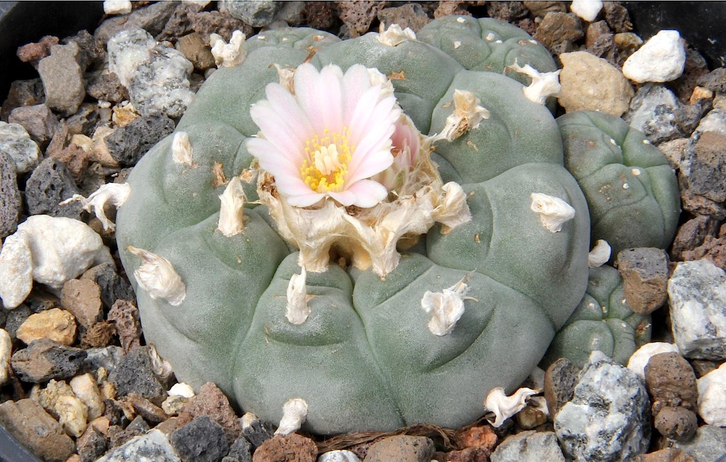 El peyote es un cactus de lento crecimiento