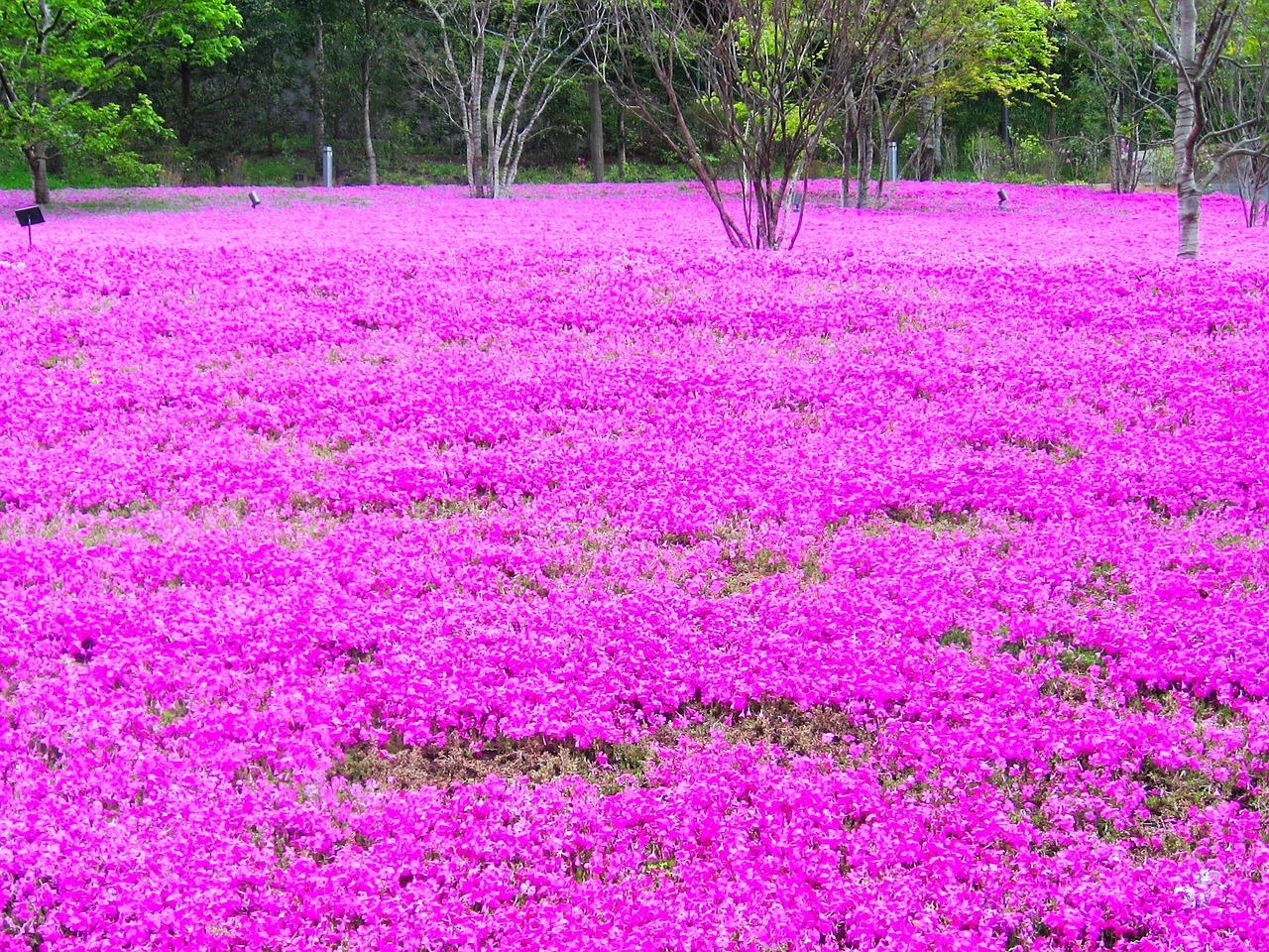 El Phlox subulata es una planta conocida como musgo de flor