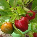 Los pimientos crecen bien en macetas