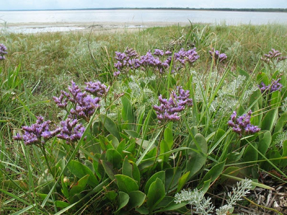 planta al lado del mar donde se pueden ver las flores de color morada