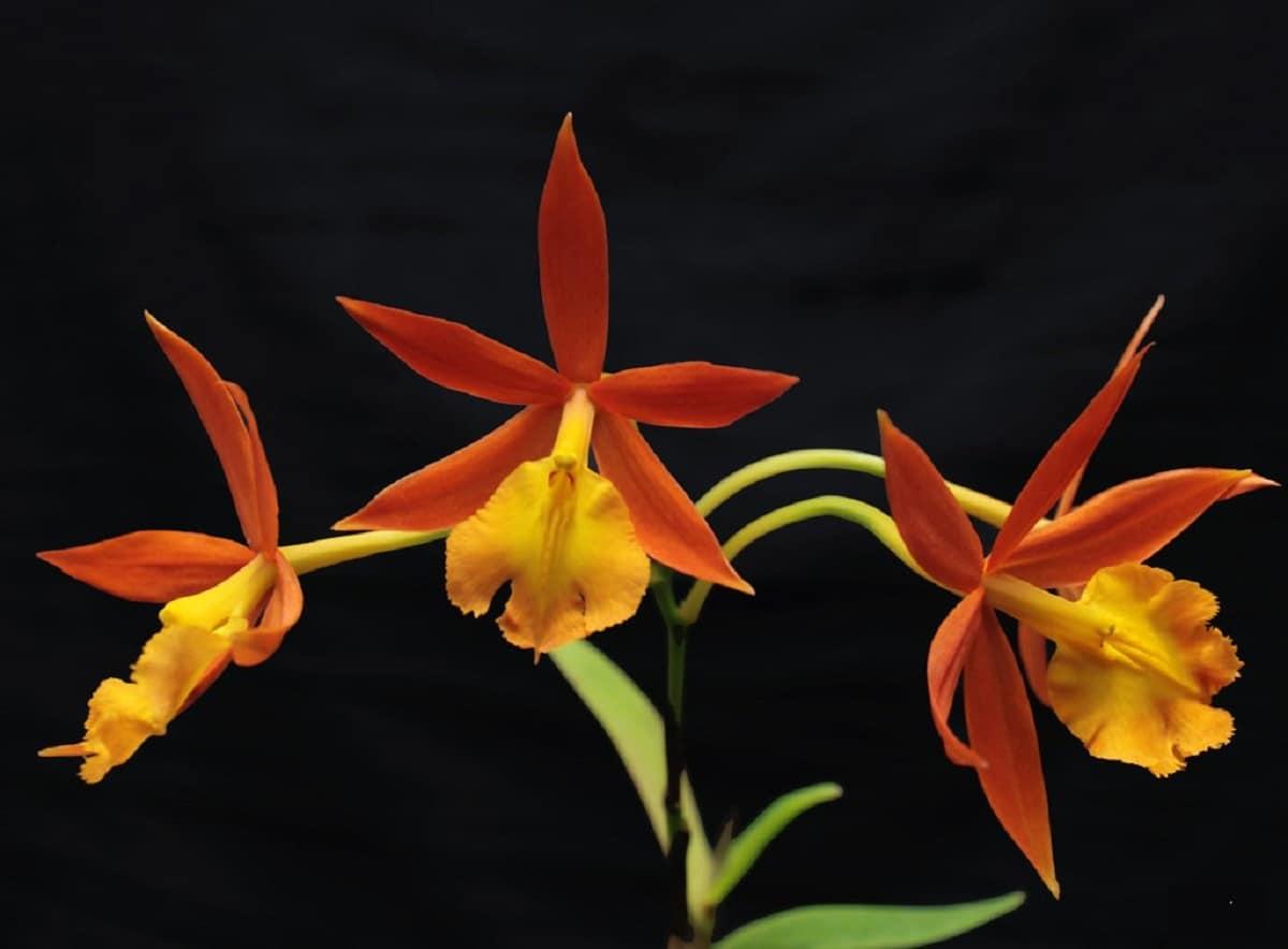 preciosa imagen de una Orquídea Epidendrum