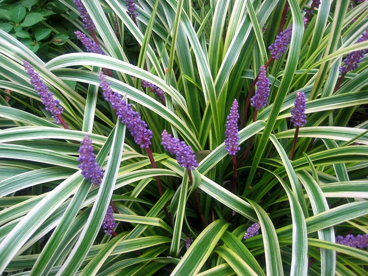 preciosa planta con hojas verdes y blancas y flores moradas