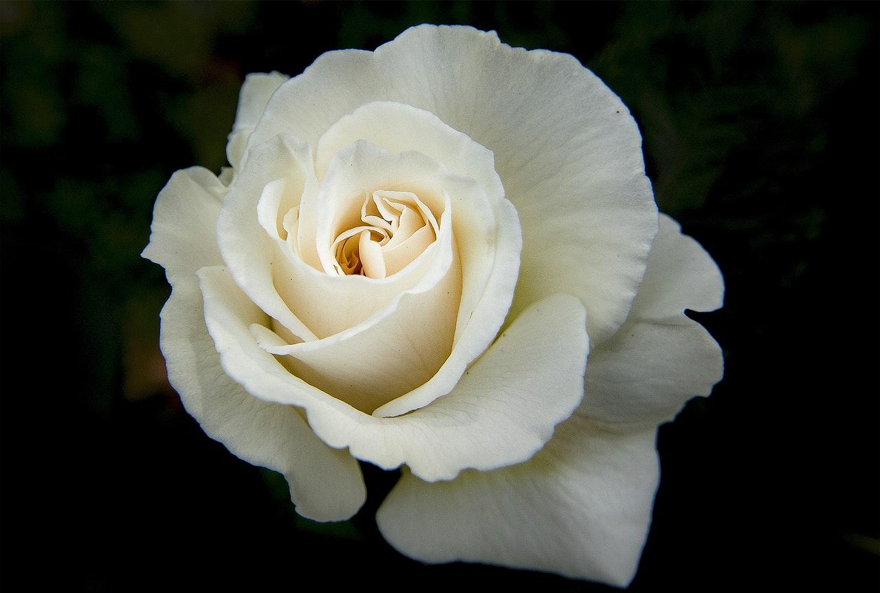 El rosal blanco es un arbusto espinoso