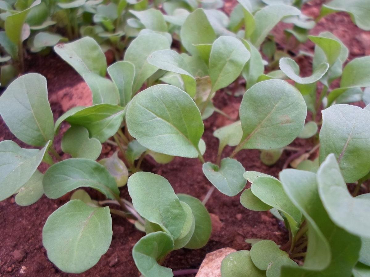 Las rúculas son buenas plantas para huertos urbanos
