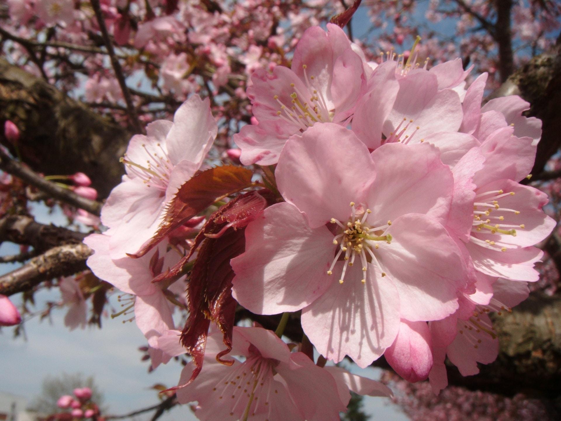 La flor de sakura es una de las flores japonesas más populares