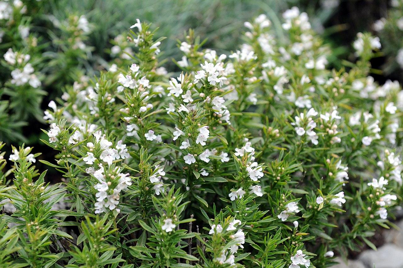 La Satureja es una planta con varios usos