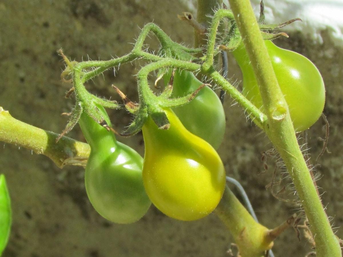 tomates pera que aun no han cogido el color amarillo