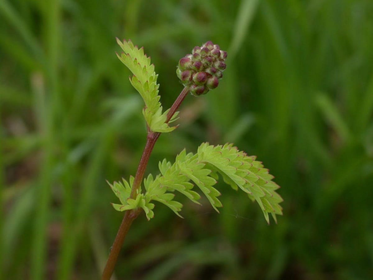 una flor en pleno crecimiento llamada Sangisorba minor