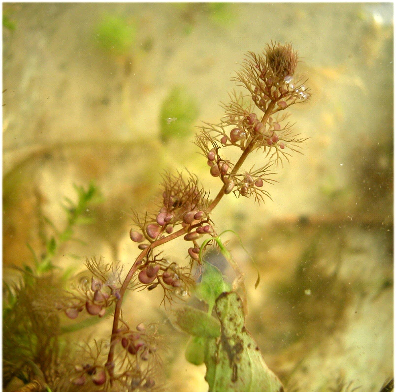 La Utricularia australis tiene trampas en forma de vesícula