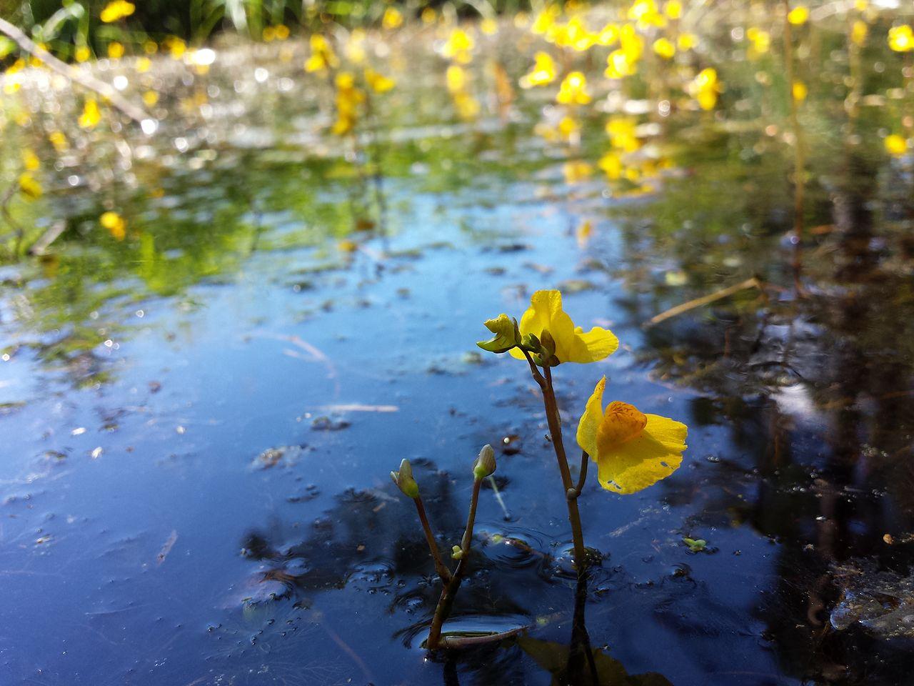 La Utricularia australis es una planta acuática
