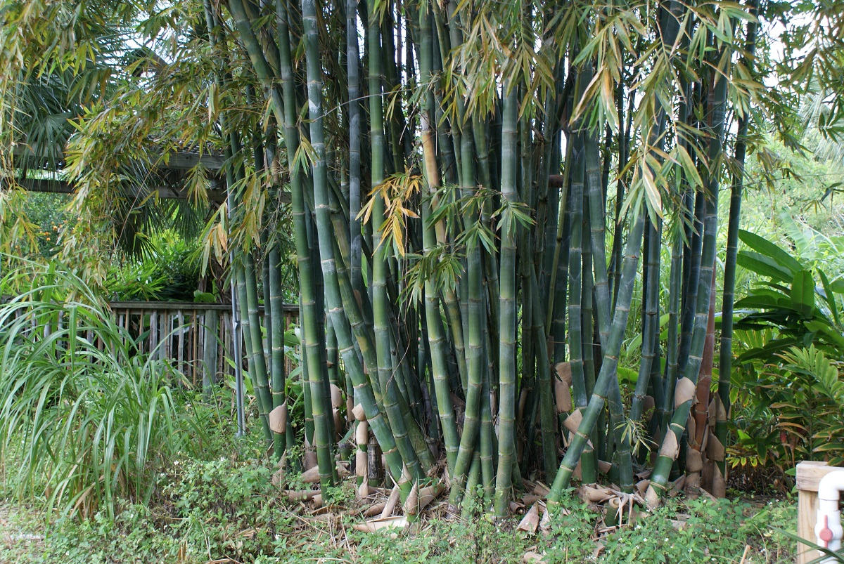Bambusa, un género de grandes bambúes no invasivos